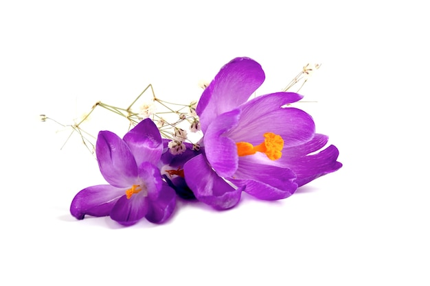 Crocus on white background flores frescas da primavera