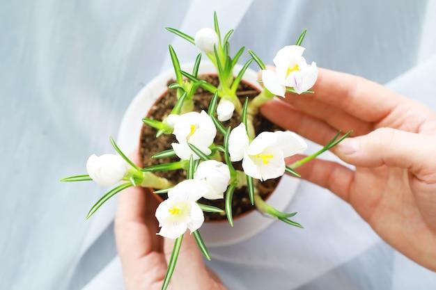 Crocus, plural açafrões ou croci é um gênero de plantas com flores da família da íris. um único açafrão, um bando de açafrões, um prado cheio de açafrões, açafrões em close-up. açafrão em um fundo branco.