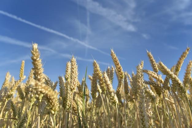 Cru de crescimento de trigo maduro e dourado em um campo sob o céu azul