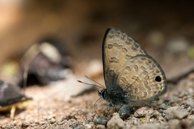 Cruzador comum borboleta bonita