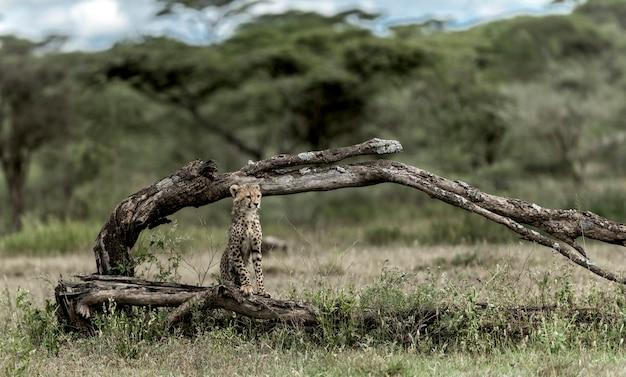 Cub cheetah no parque nacional do serengeti