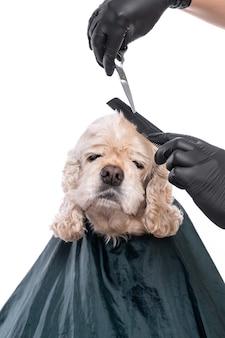 Cuidado profissional com um cão. groomer segurando ferramentas nas mãos