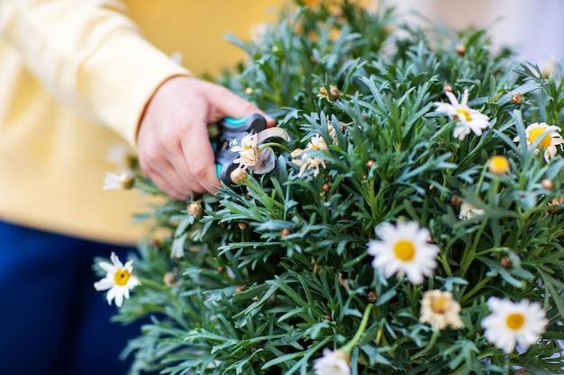 Cuidando das flores da varanda, podando com uma tesoura de poda, close-up das mãos da criança com uma tesoura