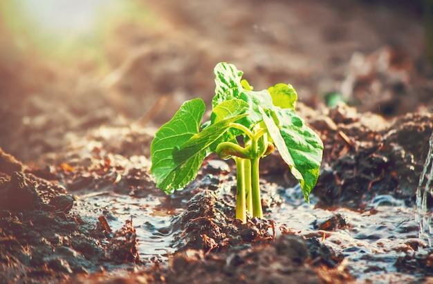Cuidando de uma nova vida. regando plantas jovens. as mãos da criança. foco seletivo.