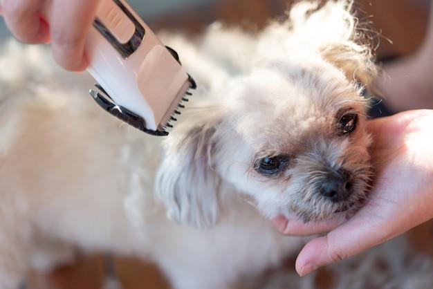 Cuidando e cortando o pelo de cachorro bege tão fofo mistura de raça com shih-tzu, pomerânia e poodle