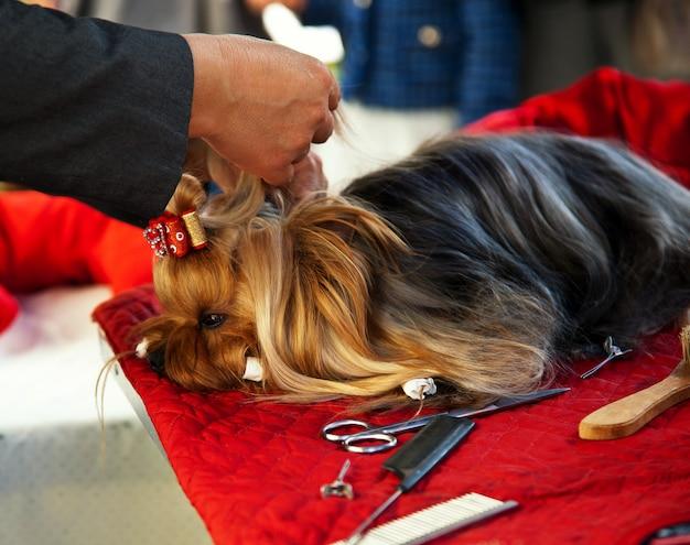 Cuidar de yorkshire terrier