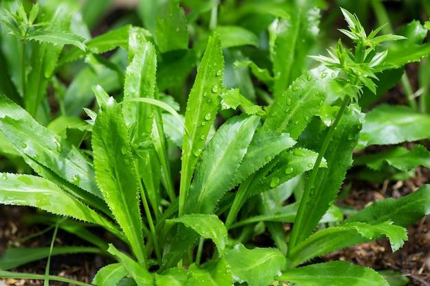 Culantro, coentro longo, coentro dente de serra ou ramo de eryngium foetidum no fundo da natureza.