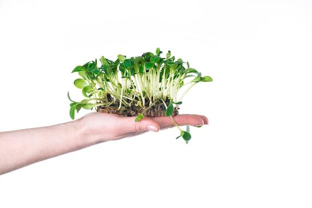 Cultivando microgreens em casa