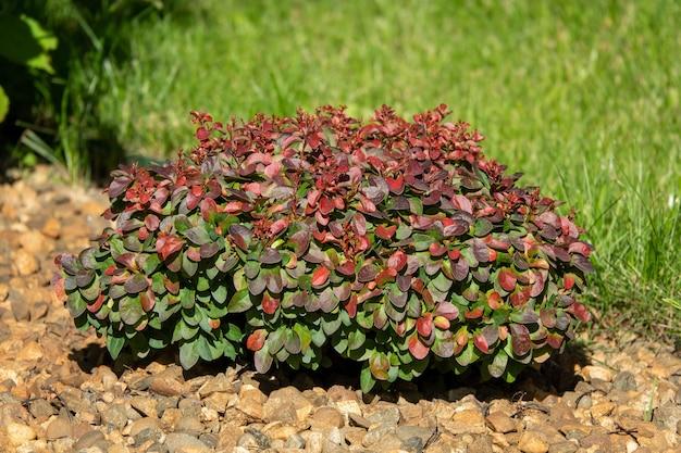 Cultivar thunbergs barberry berberis thunbergii red rocket em jardim rochoso