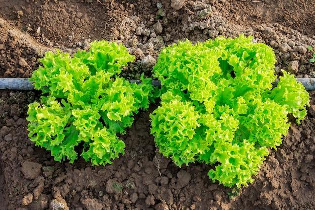 Cultivar uma salada suculenta em uma estufa com irrigação por gotejamento.