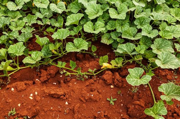Cultivo biológico de abobrinha