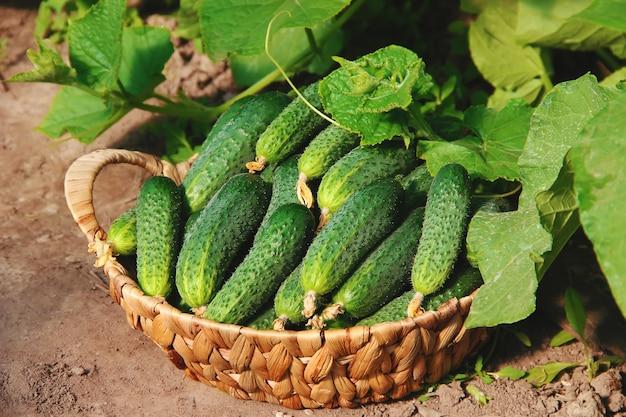 Cultivo caseiro de pepino e colheita. foco seletivo.