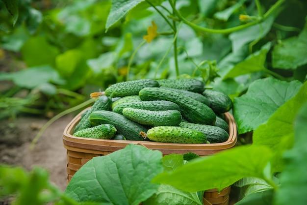 Cultivo caseiro de pepino e colheita.