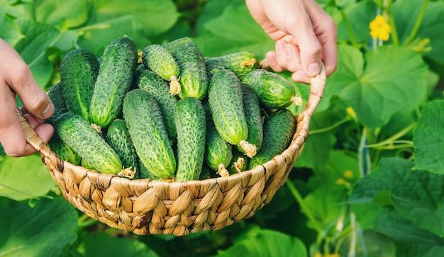 Cultivo caseiro do pepino e colheita nas mãos dos homens.