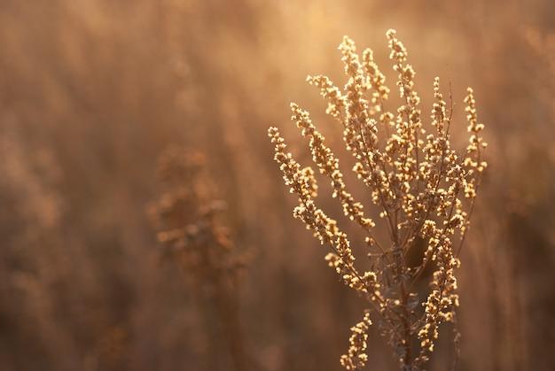 Cultivo de absinto de grama selvagem no campo durante o pôr do sol quente de verão