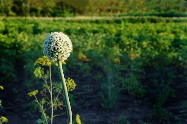 Cultivo de alho-poró, vegetais com flores, flores. fundo de agricultura legumes orgânicos frescos