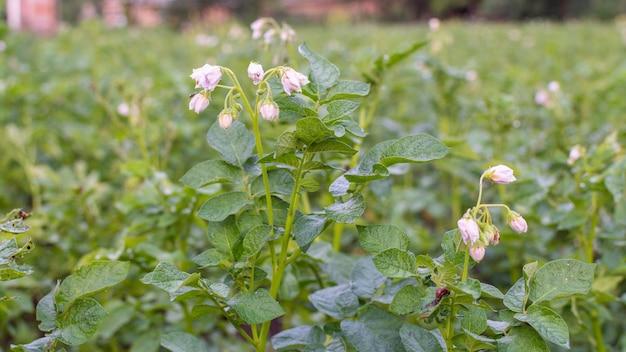 Cultivo de batata em um canteiro de jardim, folhas verdes de batata com inflorescência, vegetais orgânicos naturais