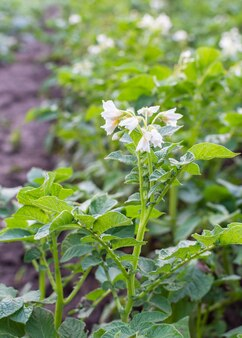 Cultivo de batata em um canteiro, folhas verdes de batata com inflorescência, vegetais orgânicos naturais