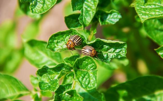 Cultivo de besouros colorados de batata. foco seletivo.