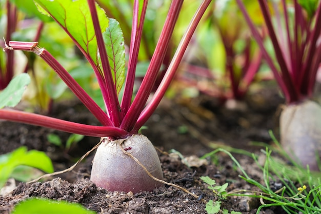 Cultivo de beterraba em pequena fazenda de vegetais vegetais baratos para consumo humano e animal