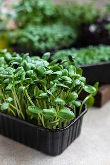 Cultivo de brotos de girassol para alimentação e dieta saudáveis microgreens frescos close-up