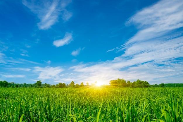 Cultivo de cana ao pôr do sol a cana-de-açúcar é uma gramínea da família poaceae, cana-de-açúcar doce e rural destinada à indústria alimentícia.