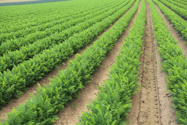 Cultivo de cenouras na areia em um campo na normandia