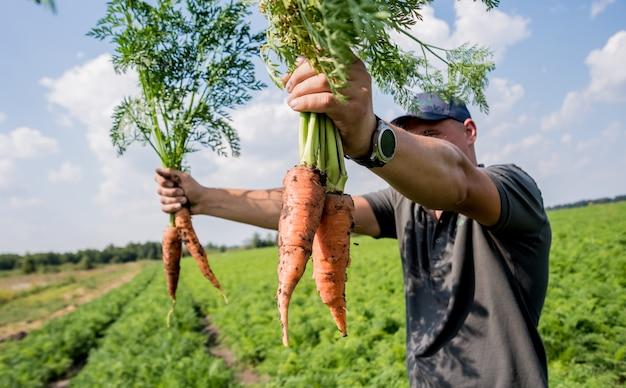 Cultivo de cenouras orgânicas. cenouras nas mãos de um fazendeiro.