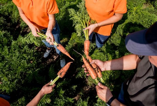 Cultivo de cenouras orgânicas. cenouras nas mãos de um grupo de agricultores. cenouras recém-colhidas. colheita de outono. agricultura.