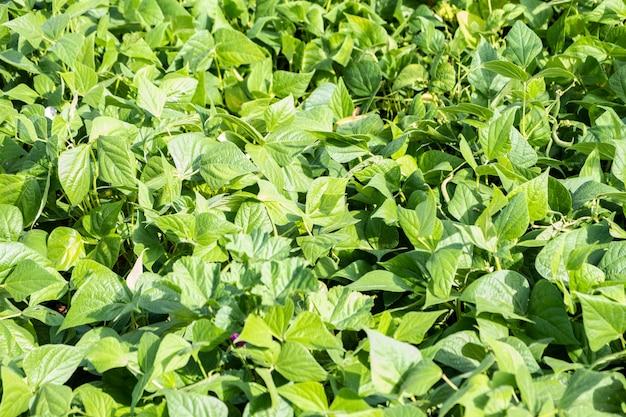Cultivo de feijão verde em um jardim de permacultura no verão