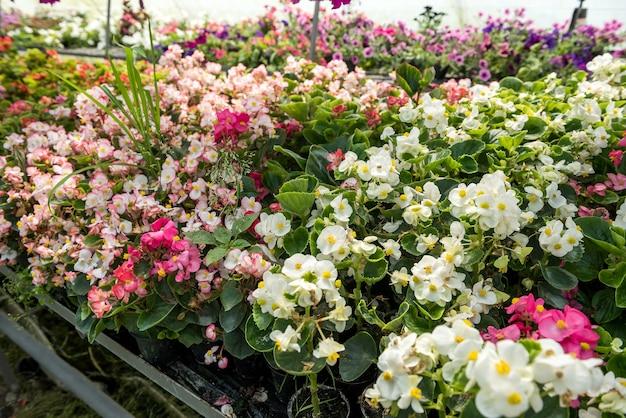 Cultivo de flores crescendo dentro de um viveiro de estufa. cuide das plantas
