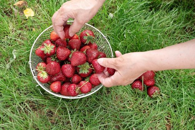 Cultivo de frutas silvestres de verão no quintal, mãos de uma mulher idosa separando os morangos na grama, close-up.