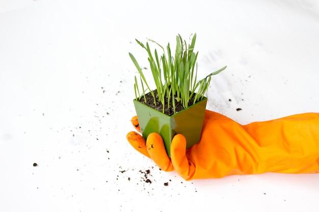 Cultivo de grama verde para animais de estimação, gatos.