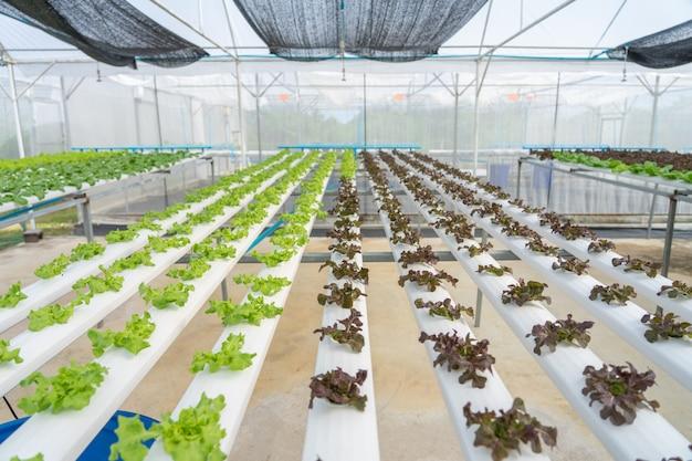 Cultivo de hortaliças sem usar terra ou chamar outro tipo de vegetal hidropônico