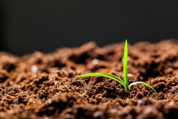 Cultivo de jovens mudas de milho verde brota no campo agrícola agrícola cultivada