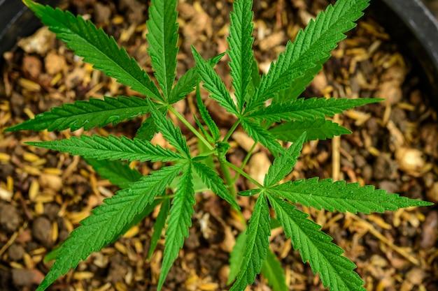 Cultivo de maconha (cannabis sativa), florescendo planta de cannabis como uma droga medicinal legal