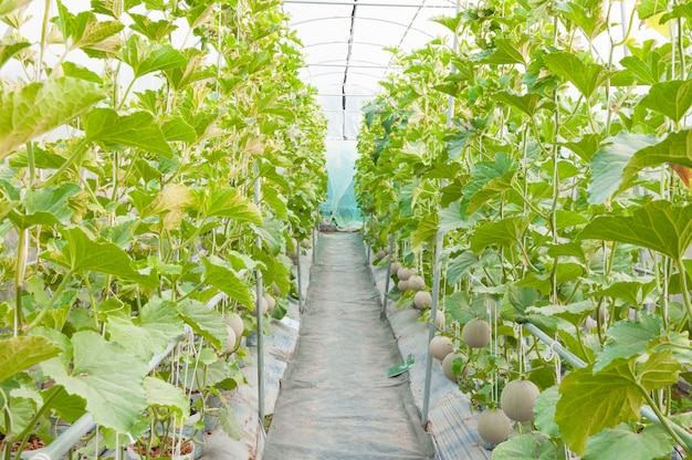 Cultivo de melão em estufa, melão jovem na fazenda orgânica