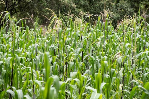 Cultivo de milho em campo aberto