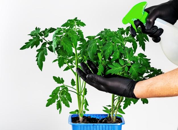 Cultivo de mudas de tomate em um recipiente de plástico isolado