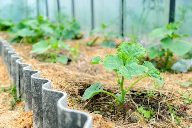 Cultivo de pepino orgânico em uma casa verde.