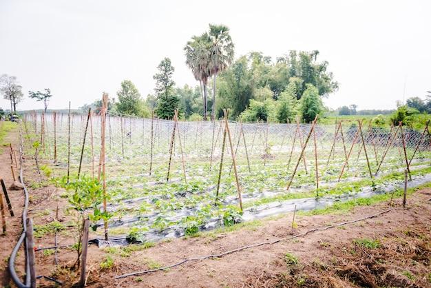 Cultivo de pepinos em fazenda, sistema de irrigação por gotejamento