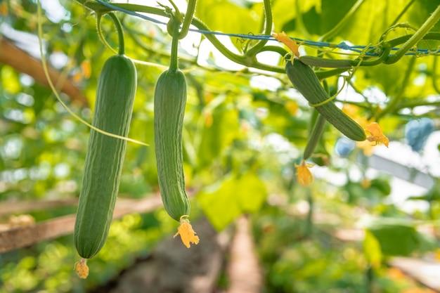 Cultivo de pepinos orgânicos sem produtos químicos e pesticidas em uma estufa na fazenda, vegetais saudáveis com vitaminas