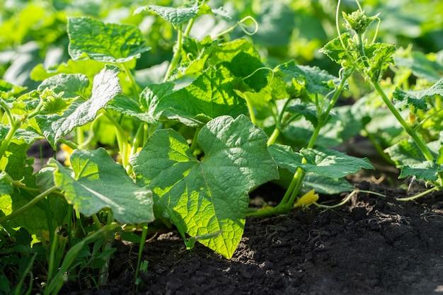 Cultivo de pimenta no jardim ao ar livre, arbustos de pimenta verde no chão preto.