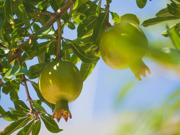 Cultivo de romã fruta em uma árvore, romã verde (punica granatum), frutas