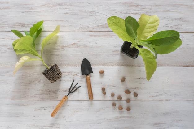 Cultivo de tabaco, mudas de tabaco em uma mesa de madeira.