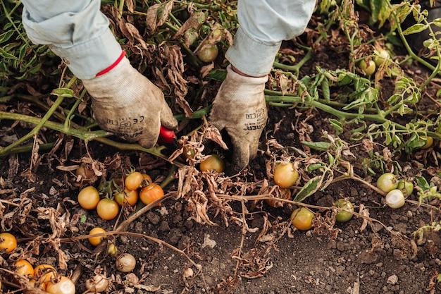 Cultivo de tomate cereja em puglia, sul da itália