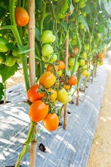 Cultivo de tomate na agricultura de campo