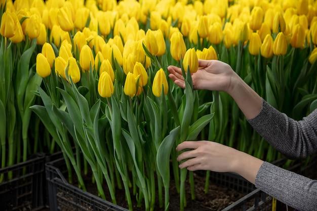 Cultivo de tulipas em uma estufa fabricada para sua celebração