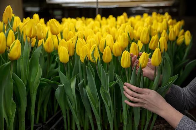 Cultivo de tulipas em uma estufa fabricada para sua celebração Foto Premium