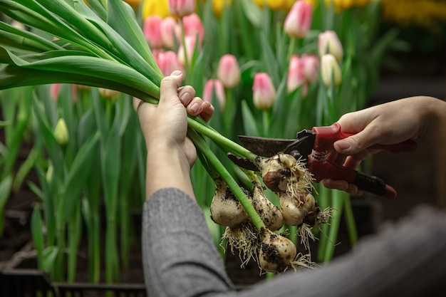 Cultivo de tulipas em uma estufa - manufatura para sua celebração. flores selecionadas da primavera em tons suaves de rosa. dia das mães, dia da mulher, preparação para as férias, brilhante. fabricação de buquê.